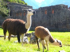 alpaca(0.0), flightless bird(0.0), guanaco(0.0), animal(1.0), zoo(1.0), llama(1.0), fauna(1.0), vicuã±a(1.0), camel-like mammal(1.0), wildlife(1.0),