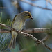 Brown Honeyeater (Lichmera indistincta) 2/2