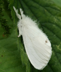 bombyx mori(0.0), larva(0.0), butterfly(0.0), caterpillar(0.0), flower(0.0), cabbage butterfly(0.0), colias(0.0), arthropod(1.0), pollinator(1.0), animal(1.0), moth(1.0), leaf(1.0), wing(1.0), invertebrate(1.0), insect(1.0), macro photography(1.0), close-up(1.0), bombycidae(1.0),