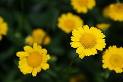 calendula(0.0), nectar(0.0), daisy(0.0), sulfur cosmos(0.0), annual plant(1.0), flower(1.0), yellow(1.0), plant(1.0), marguerite daisy(1.0), chamaemelum nobile(1.0), tanacetum parthenium(1.0), macro photography(1.0), wildflower(1.0), flora(1.0), petal(1.0),