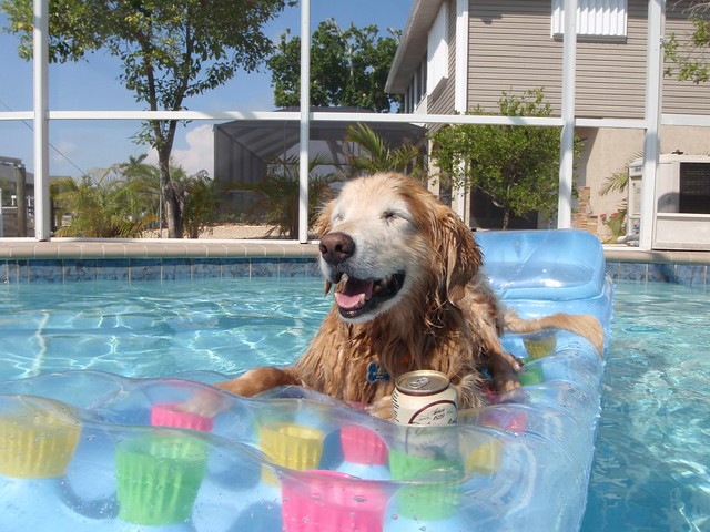 Happy Golden Retriever Dog In Pool On Floating Mattress