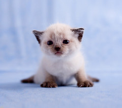 animal, kitten, small to medium-sized cats, pet, ragdoll, thai, tonkinese, cat, burmese, carnivoran, whiskers, balinese, birman, himalayan,