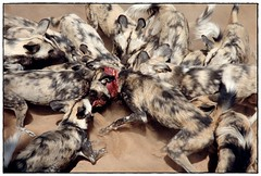hyena(0.0), australian shepherd(0.0), animal(1.0), fur(1.0), mammal(1.0), lycaon pictus(1.0),