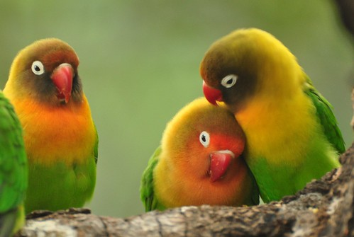 lovebirds in Chile