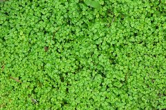 leaf, herb, green, lawn, non-vascular land plant, groundcover,