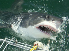 A 5m great white!!!