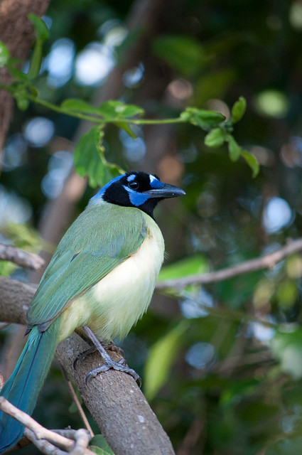 A Green Jay at Laguna Atascosa.  Photo by Brendan McGarry