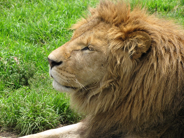 Lion - Male's Face | Flickr - Photo Sharing!