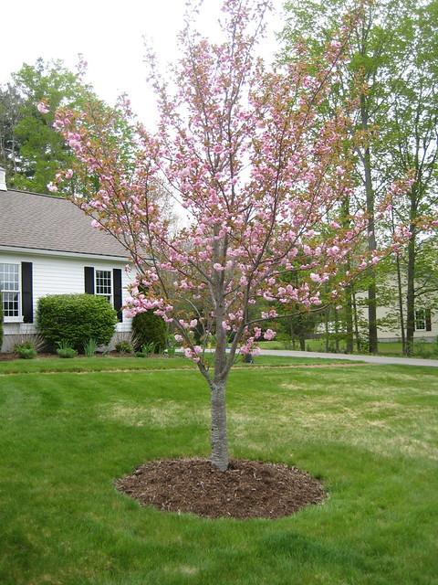 Flowering almond tree | Flickr - Photo Sharing!