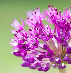 A brush with Allium