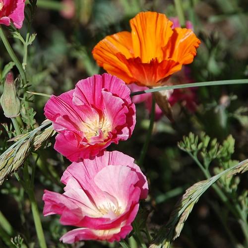 Eschscholzia californica - California Poppy garden cultivars