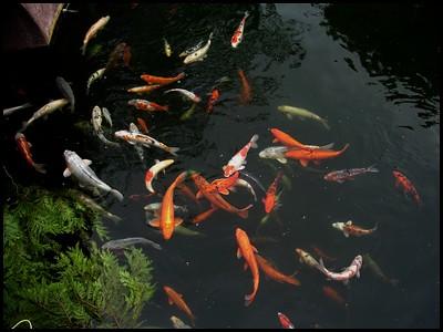 Despedi me da minha carpa koi lagos carpas e peixes de for Carpas koi cuidados