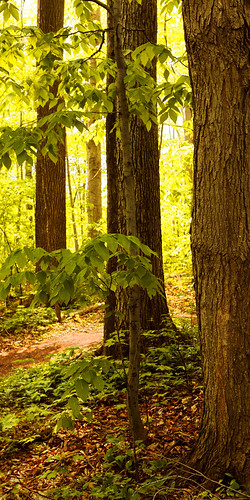 morning trees light newyork history church backlight woodland three site woods glow peace grove religion first peaceful glen holy vision sacred mormon josephsmith lds shady palmyra prophet sacredgrove firstvision thesacredgrove thefirstvision
