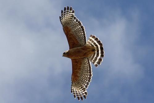 wild bird nature animal fly hawk wildlife wing feather prey thewonderfulworldofbirds photocontesttnc09 dailynaturetnc09 birdsnw09 favoritenw10 lifetnc10 photocontesttnc11