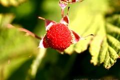 macro: ripe thimbleberry    MG 6553
