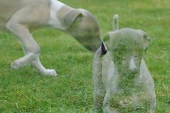 dog sports, animal, dog, grass, galgo espaã±ol, sloughi, mammal, greyhound,