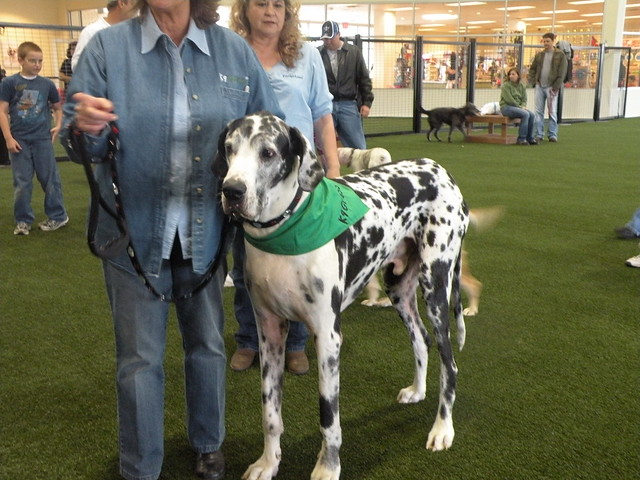 Largest Great Dane http://www.flickr.com/photos/danemom/3394414661/