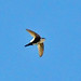 White-throated Swift - Photo (c) Jerry Oldenettel, some rights reserved (CC BY-NC-SA)