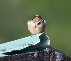 animal, wing, fauna, finch, close-up, swallow, bird,