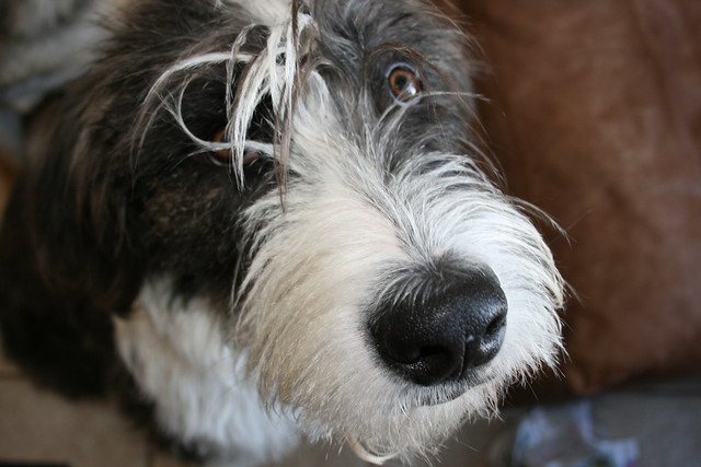 Irish Wolfhound Mix