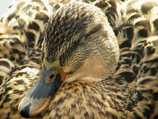 Sleepy Mrs. Mallard