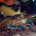 Caribbean Spiny Lobster - Photo (c) Zach Putnam, some rights reserved (CC BY-NC-SA)