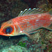 Longspine Squirrelfish - Photo (c) Zach Putnam, some rights reserved (CC BY-NC-SA)