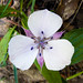 Oakland mariposa lily - Photo (c) Ken-ichi Ueda, some rights reserved (CC BY-NC-SA)