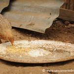 Chicken Food - Guatemala City, Guatemala