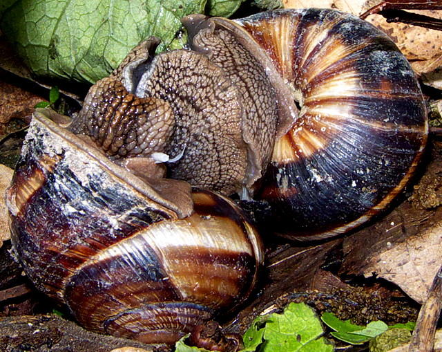 The sex life of garden snails Digital Spy