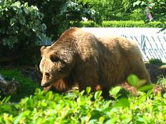 wildlife(0.0), animal(1.0), american black bear(1.0), mammal(1.0), grizzly bear(1.0), fauna(1.0), brown bear(1.0), bear(1.0),
