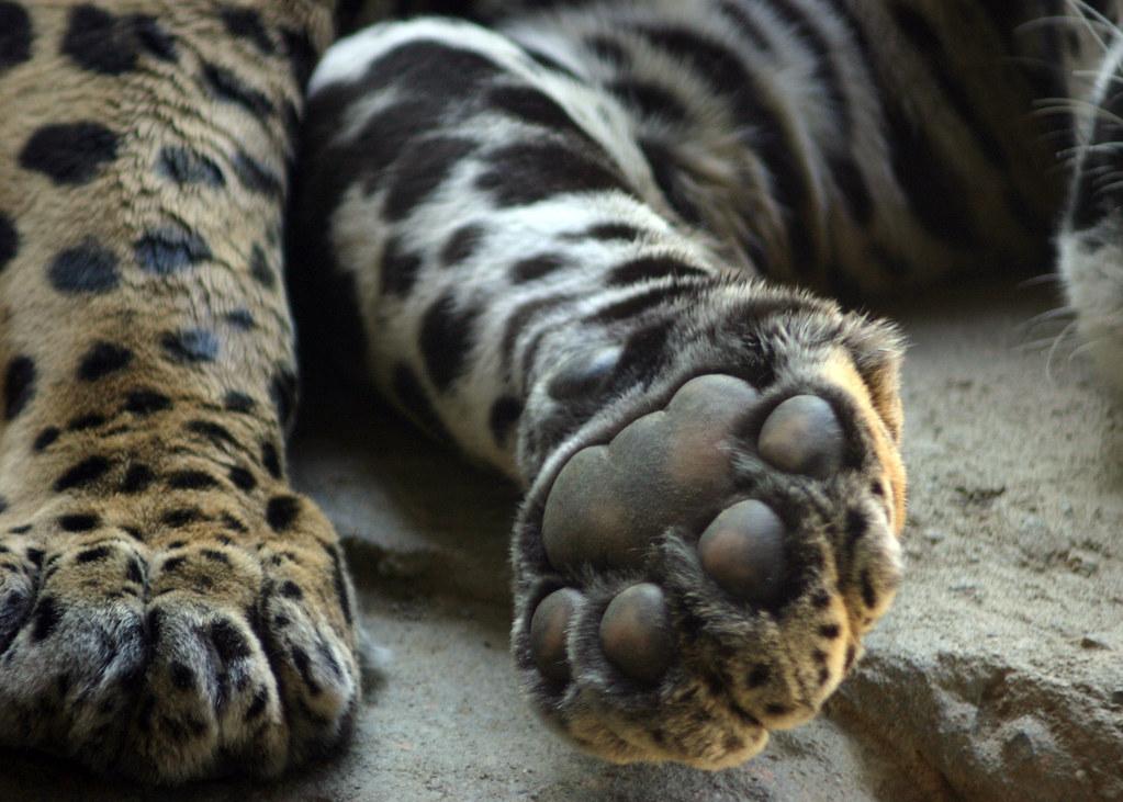 Jaguar Hind Paws