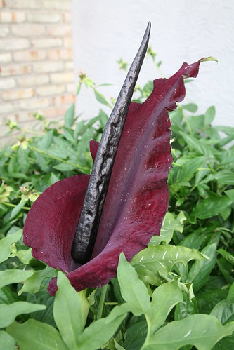 Dracunculus Vulgaris - stink lily, or snake lily