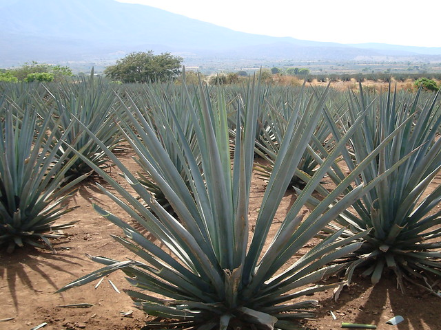 Blue Agave, Tequila, Mexico