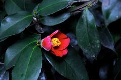 blossom(0.0), shrub(1.0), camellia sasanqua(1.0), flower(1.0), leaf(1.0), plant(1.0), macro photography(1.0), flora(1.0), camellia japonica(1.0), theaceae(1.0), close-up(1.0),