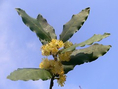 """Laurus nobilis"" flowers (Alloro)"