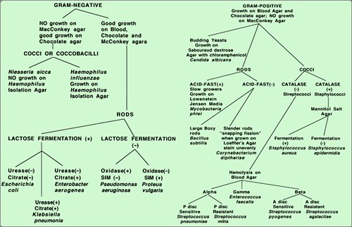 Gram positive Bacteria Flow Chart http://www.flickr.com/photos/furmanborst/3468624921/