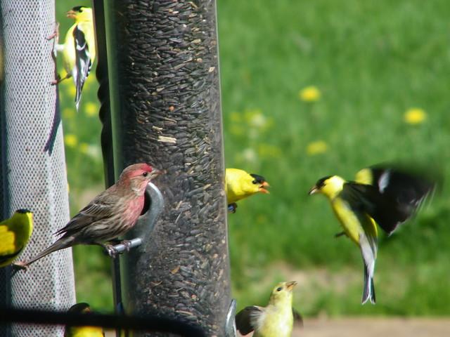 Bird in the Backyard (Saline, Michigan)   Flickr - Photo ...