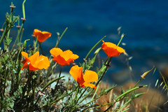prairie, eschscholzia californica, flower, yellow, plant, nature, wildflower, flora, petal, poppy,