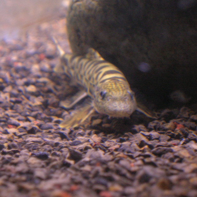 Chinese hillstream loach Flickr - Photo Sharing!