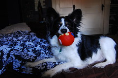 puppy(0.0), border collie(1.0), animal(1.0), dog(1.0), pet(1.0), mammal(1.0), papillon(1.0),