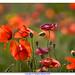 Rosso primavera by ele153 - Raffaele Battista
