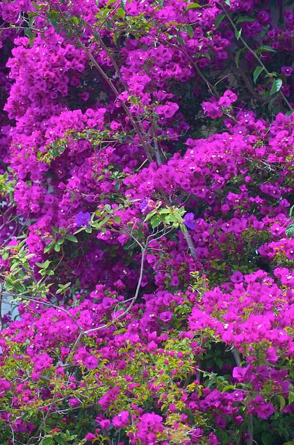 Bougainvillea wall | Flickr - Photo Sharing!