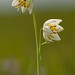 Fragrant Fritillary - Photo (c) birdgal5, some rights reserved (CC BY-NC-ND)