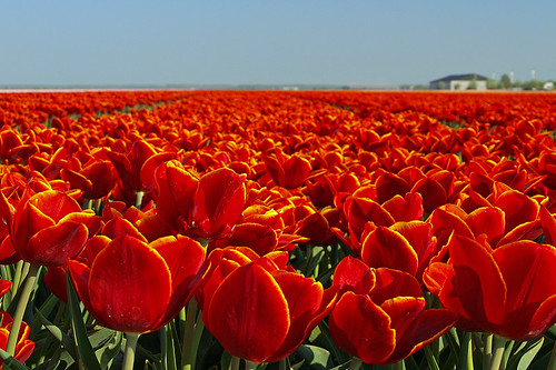 Tulips in the Flevopolder Holland