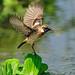 Flutter of Stonechat