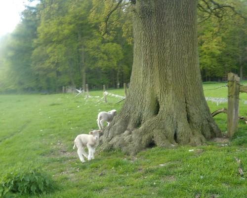 Lambs near a tree