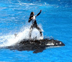 animal, marine mammal, whale, ocean, marine biology, killer whale, wind wave,