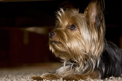 dog breed, animal, dog, pet, australian silky terrier, cairn terrier, australian terrier, carnivoran, yorkshire terrier, terrier,