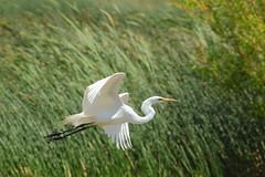 Great Egret (Ardea alba) - High breeding Adult